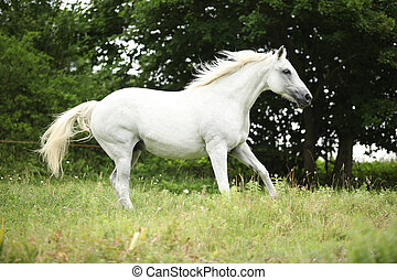 White czech warmblood running on pasturage in summer