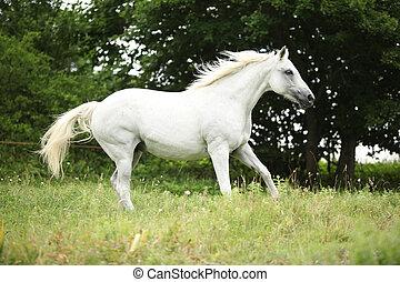 White czech warmblood running on pasturage in summer
