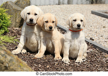 Adorable labrador retriever puppies sitting in line -...