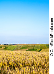 Ripening ears of wheat field - Ripening ears of wheat on a...
