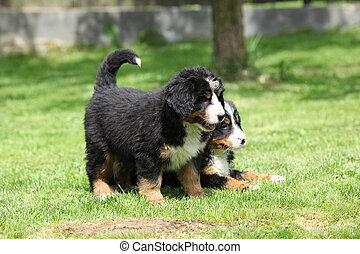 Two Bernese Mountain Dog puppies in the garden - Two Bernese...