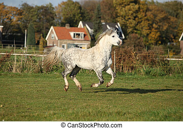 Welsh mountain pony stallion galloping on pasturage in...