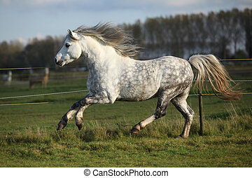 Grey welsh mountain pony stallion running on pasturage in...