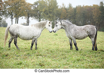 Welsh mountain ponnies in autumn - White and grey welsh...