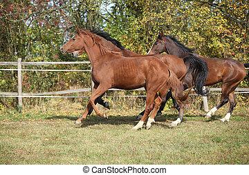 Warmblood horses running on pasturage in autumn
