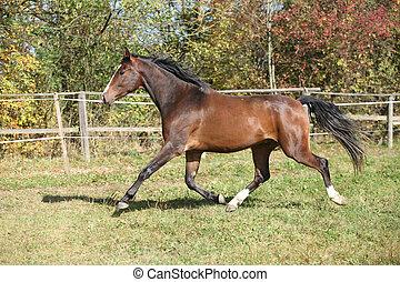 Warmblood horse running on pasturage in autumn