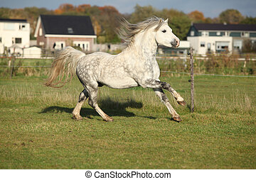 Grizlly welsh mountain pony stallion running on pasturage in...