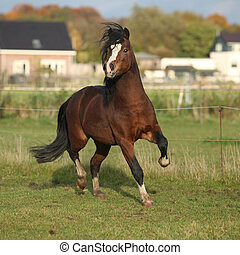 Brown welsh mountain pony stallion with black hair galloping...
