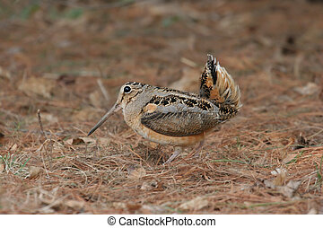 American Woodcock (Scolopax minor) displaying in spring