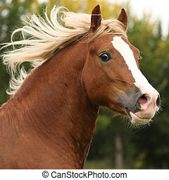 Portrait of nice welsh pony stallion with blond hair - Nice...