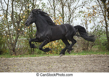 Perfect friesian stallion flying - Perfect friesian stallion...