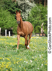 Chestnut warmblood running on green pasturage with flowers