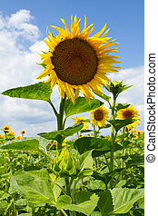 Beautiful sunflowers  - Sunflowers on the blue sky