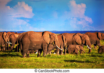 Elephants herd on savanna. Safari in Amboseli, Kenya, Africa...
