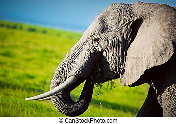 Elephant on savanna Safari in Amboseli, Kenya, Africa -...
