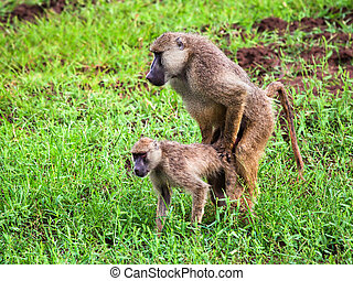 Baboon monkey copulation. Safari in Tsavo West, Kenya,...