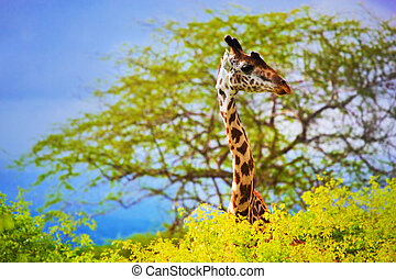Giraffe in bush. Safari in Tsavo West, Kenya, Africa -...