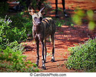 Lycaon, the African wild dog. Tsavo West, Kenya, Africa. -...