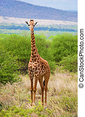 Giraffe on savanna Safari in Tsavo West, Kenya, Africa -...