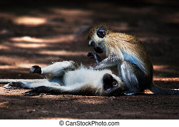 The vervet monkeys, Tsavo West, Kenya, Africa. - The vervet...