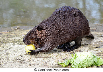 North American Beaver eating apple - North American Beaver...