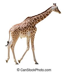 Isolated giraffe walking - Giraffe (Giraffa camelopardalis)...