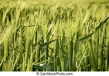 Young Barley - Young green barley corns growing in a field