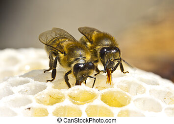Work of the bees in hive - Bees convert nectar into honey