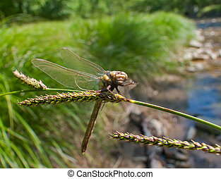 Dragonfly 4 - A close-up of a dragonfly on grass-blade...