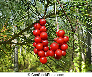 Berries of Primorye 11 - A close-up of the medical berries...