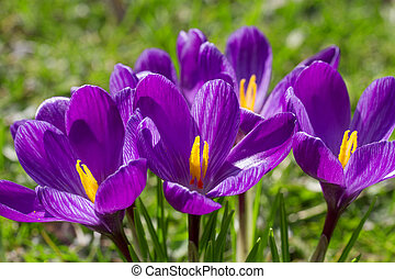Crocus flower closeup
