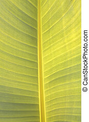 Banana leaves. - Banana leaves, bright green leaves natural...