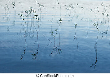 Blue waters - Lake weeds in water in the evening