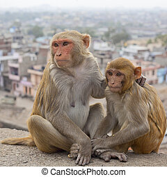 India, Rajasthan, Jaipur, indian monkeys clean each other,...
