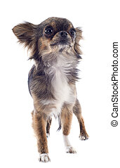 brindle chihuahua - portrait of a cute purebred brindle...