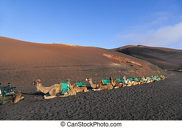 camels at Timanfaya national park in Lanzarote wait for...