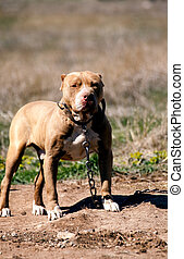 pit bull guard - young pit bull guard his teritory