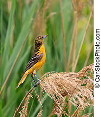 Oriole in Grasslands - A baltimore oriole clutches an insect...