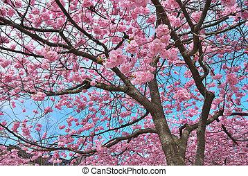 Sakura - Wonderful sakura trees in a park in Stockholm...