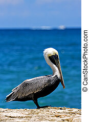 little white black pelican - side of little white black...