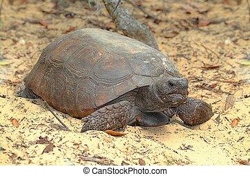 Gopher Tortoise (Gopherus polyphemus) in the dessert