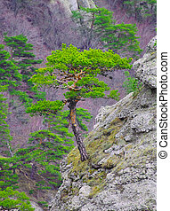 Strong Pine on the Rock in the Beautiful Mountains of...