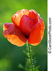 Single red poppy - National Park Stone Tombs Donetsk Ukraine...