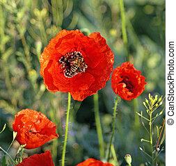 Red poppy - National Park Stone Tombs Donetsk Ukraine Poppy...