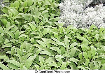 green leaves of sage and other spices for sale in the grocery market vase