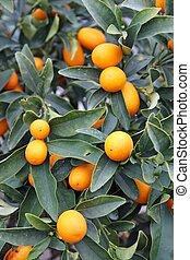 juicy Mediterranean Orange hung on fruit trees