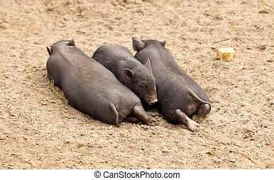 tres, poco, cerdos