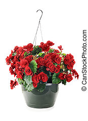 Hanging Begonias - Hanging Basket with Begonias flowers...