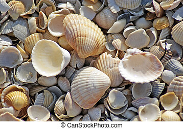 Beach shell sea - Sea shells. Coast. Beach