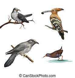 cuckoo on a tree, Hoopoe Upupa epops and water bird Isolated...